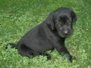 Cachorro de labrador bueno y excelente para la venta