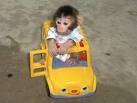 Mono capochin bueno y excelente para comprobar