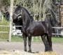 A dar a mi espléndido caballo hongre frisón de 6ans