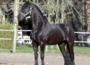 A dar a mi esplendido caballo hongre frison de 6a…