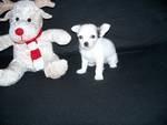 Twin Chihuahua cachorros machos y hembras para su aprobación
