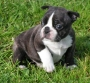 4 cachorros de bulldog frances regalo