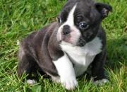 4 cachorros de bulldog frances regalo