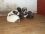 cachorros pastor del caucaso