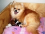 Pomerania - Pre-venta De Cachorras con Pedigree