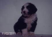 Vendo puppys old english sheepdog