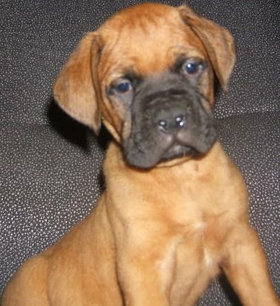 Puppies for sale-- bullmastiff