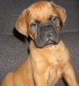 PUPPIES FOR SALE-- BULLMASTIFF