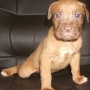 PUPPYS FOR SALE FRENCH MASTIFF