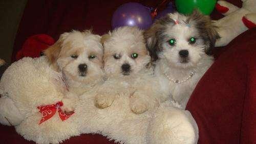 Vendo tres cachorritos shi-tzu.