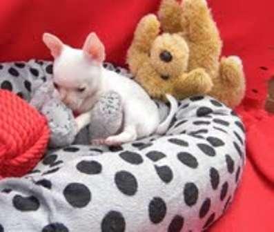 Cachorros chihuahua encantador para su aprobación.