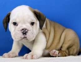 Adorable bulldog inglés cachorros para su aprobación