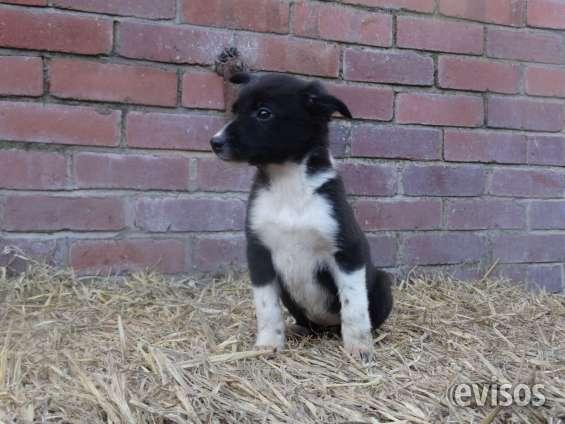 Los cachorros border collie