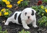 Cachorros bulldog ingles preciosos,
