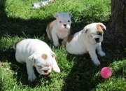 Bulldog Inglés en busca de un hogar precioso para ir para su aprobación. (Texto 8639997197