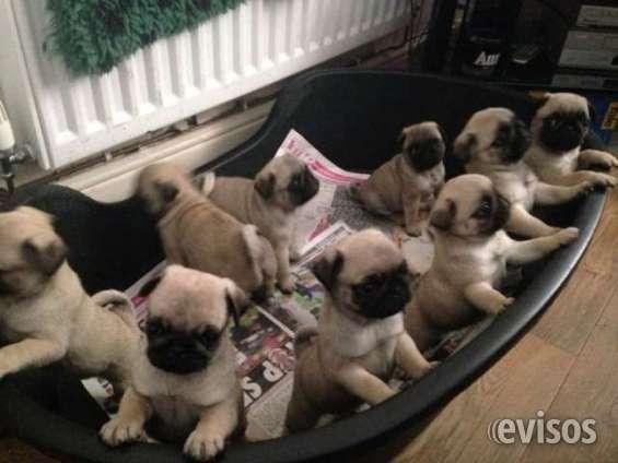 Pug hermosos cachorros en venta
