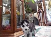 Cachorrossiberian huskies disponibles