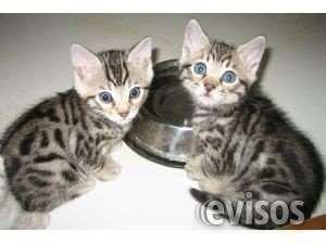 Gatito bengal buscando un nuevo hogar para la adopción