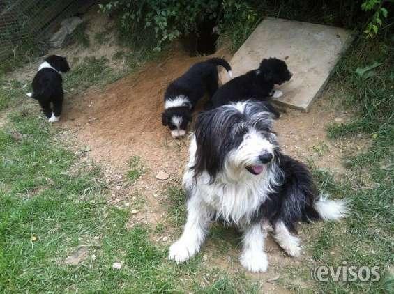 Cachorros collie barbudo