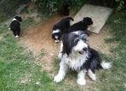 Cachorroscollie barbudo