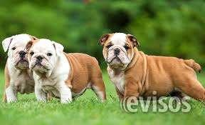 Son marrones y blanco punteado y son sanos y son muy juguetones. también son weltrained también