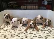 Cachorros de bulldog ingleses encantadores precio…