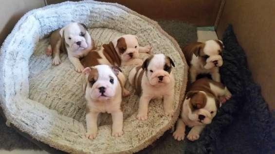 Hermosa hembra y macho cachorros disponibles para adopción